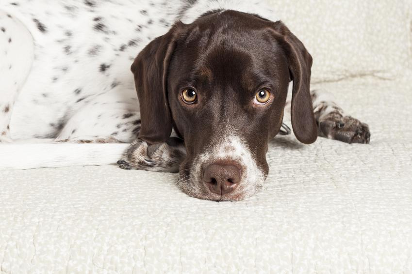 Pies rasy wyżeł angielski na białym tle oraz jej charakter, hodowla i cena