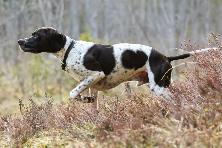 Pies rasy wyżeł angielski w czasie spaceru, a także jego charakter i cena