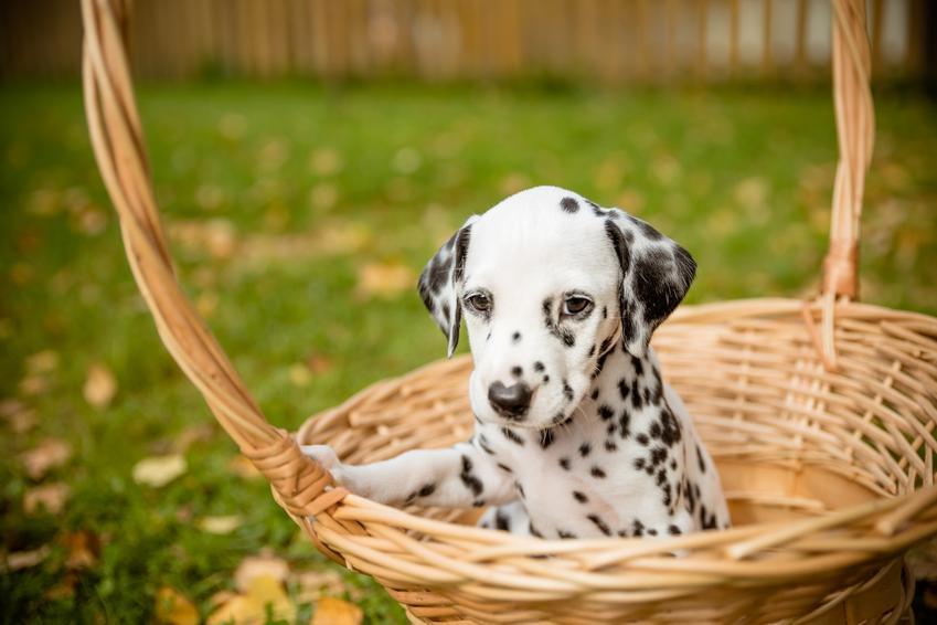 Pies rasy dalmatyńczyk siedzący w koszyku, a także cena dalmatyńczyka