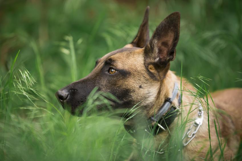 Pies rasy owczarek belgijski oraz hodowla owczarka belgijskiego malinois