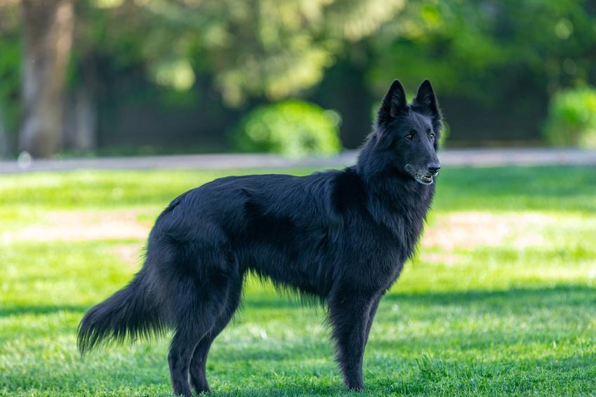 Pies rasy owczarek belgijski groenendael na tle zieleni, a także charakter i cena