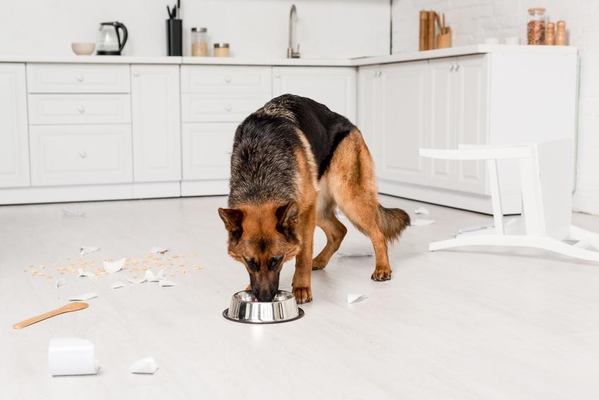 Pies rasy owczarek niemiecki jedzący z miski, a także karma dla owczarka niemieckiego
