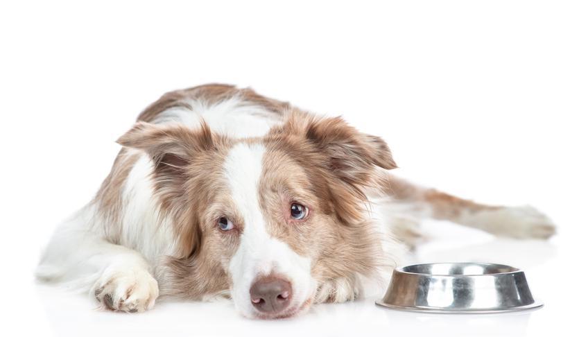 Pies leżący przy misce z karmą, a także informacje, dlaczego pies nie chce jeść