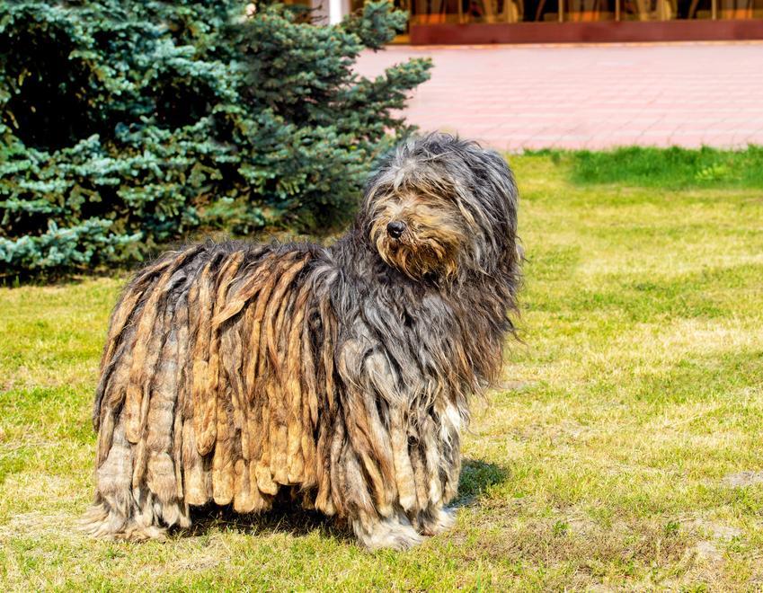 Pies rasy owczarek bergamasco na tle trawy, a także jego charakter i usposobienie