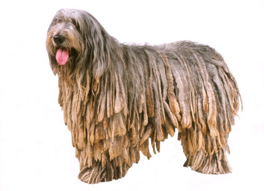 Pies rasy owczarek bergamasco na białym tle oraz jego charakter i hodowla