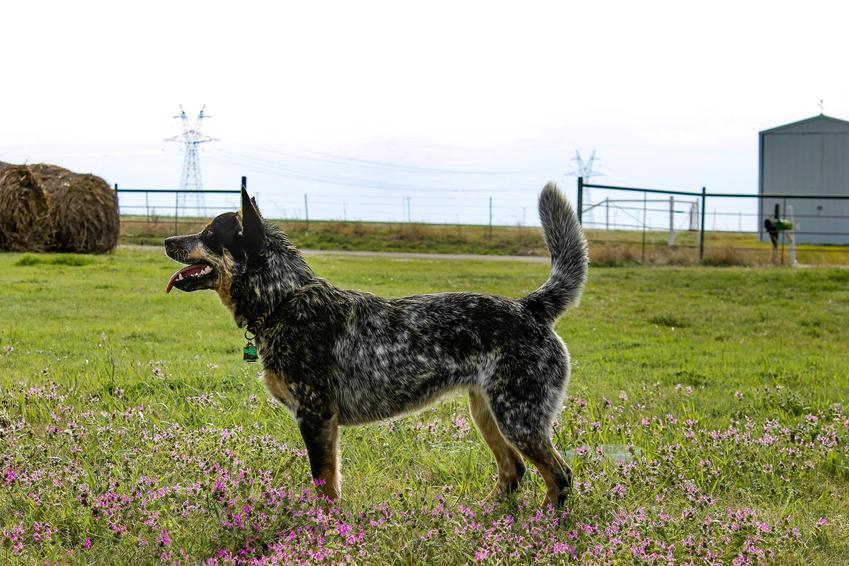 Pies rasy Australian Cattle Dog na tle trawnika, a także jego hodowla i cena