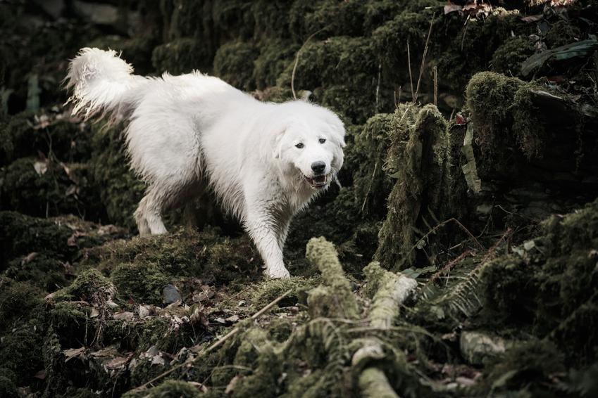 Pies rasy owczarek maremma podczas spaceru w lesie, a także jego charakter