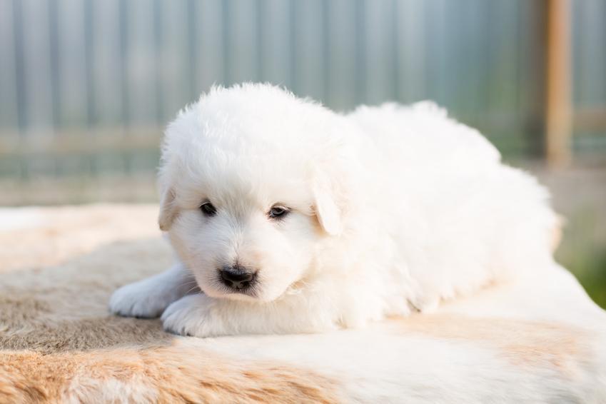 Mały pies rasy owczarek maremma leżący na podłodze oraz jego charakter i cena