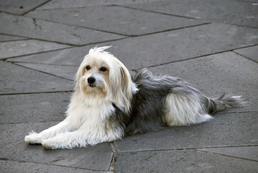 Pies rasy owczarek kataloński podczas spaceru, a także jego charakter