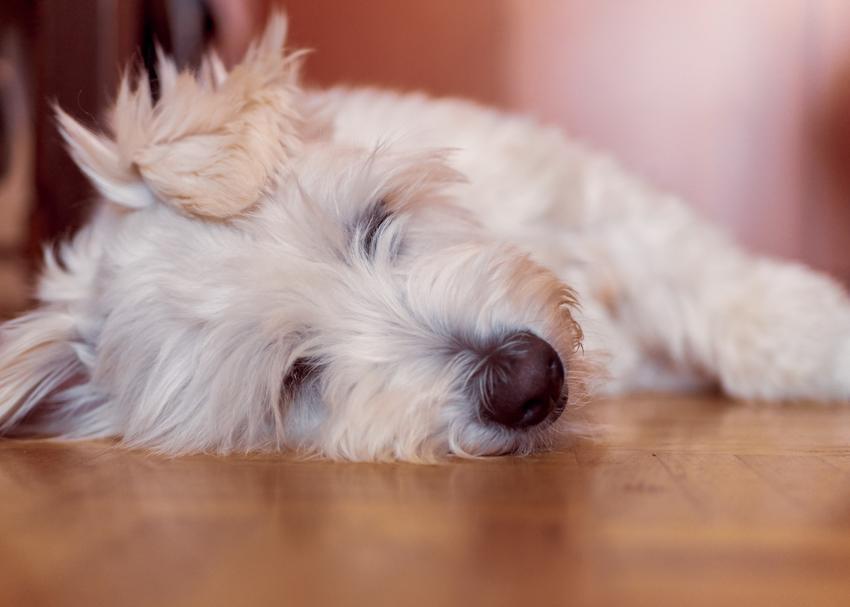 Mały pies rasy owczarek kataloński leżący na podłodze oraz jego charakter i cena