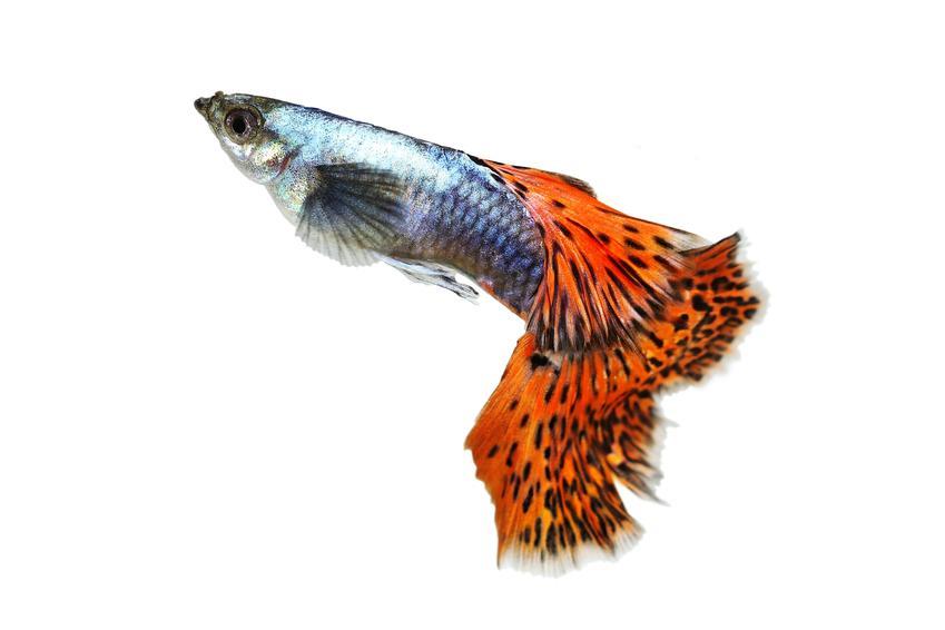 Rybka pawie oczko na białym tle, czyli gupik w akwarium i warunki