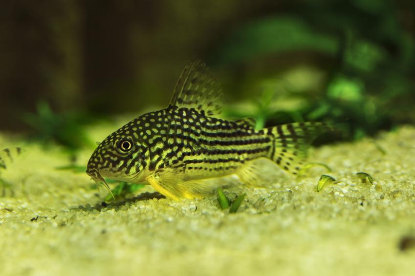Ryba kirysek na dnie akwarium, a także jej rodzaje i gatunki w hodowli