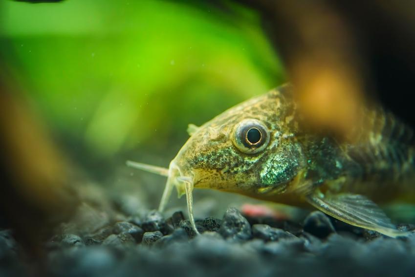 Ryba kirysek za roślinką w akwarium oraz jej hodowla i rodzaje