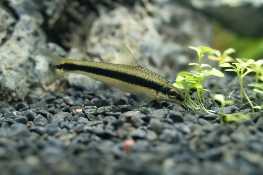 Ryba akwariowa otosek w akwarium, a także jej hodowla i wymagania