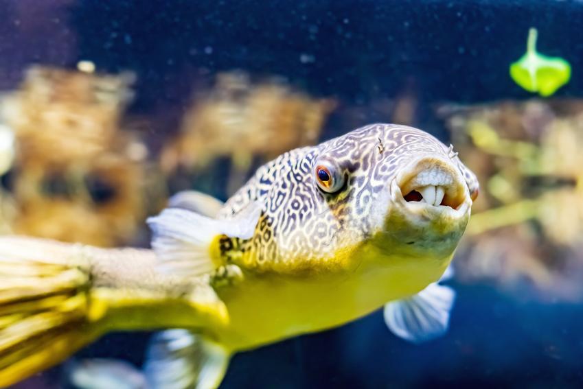 Ryba akwariowa kolcobrzuch w akwarium, a także opis, wymagania i cena