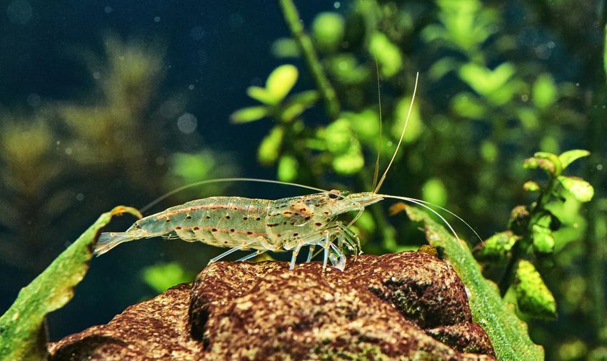 Krewetka na dnie akwarium, a także wskazóki, jak założyć akwarium z krewetkami