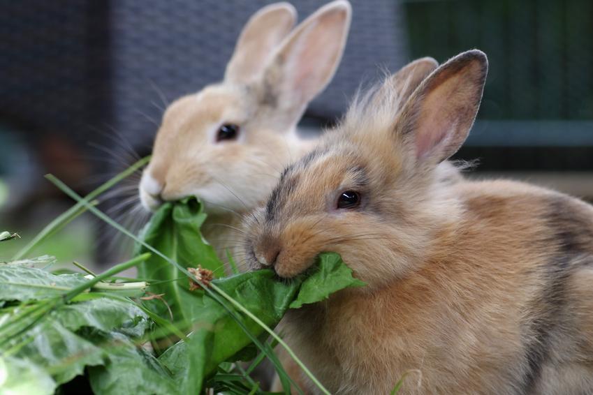 Króliki podczas jedzenia zieleniny, a także porady, co jedzą króliki
