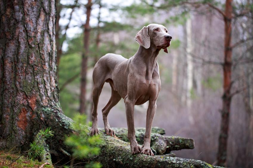Pies rasy wyżeł weimarski krótkowłosy podczas spaceru, a także jego usposobienie i hodowla