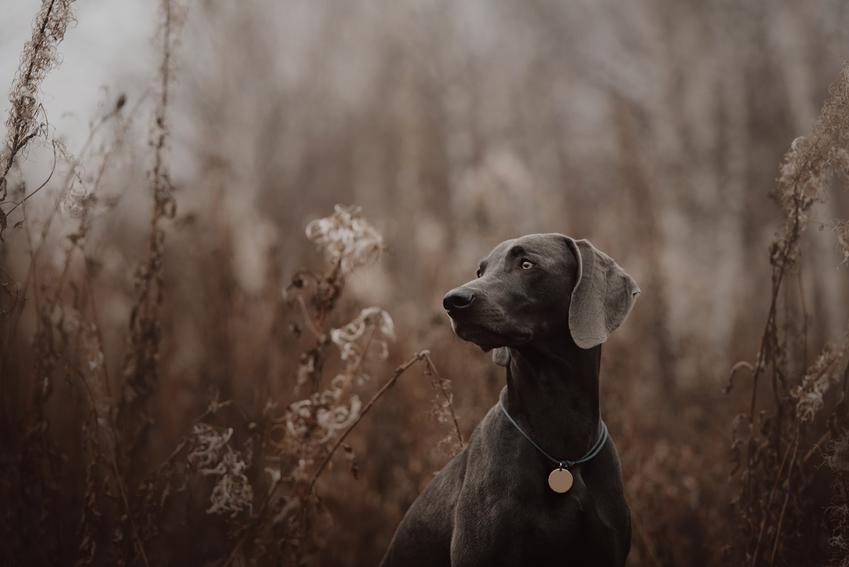 Pies rasy wyżeł weimarski krótkowłosy w lesie, a takż jego charakter i cena