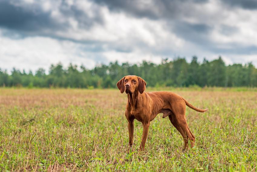 Pies rasy wyżeł węgierski krótkowłosy podczas spaceru, a także jego usposobienie i hodowla