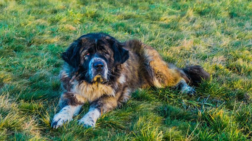 Pies rasy owczarek kaukaski leżący na trawie, a także jego usposobienie i cena