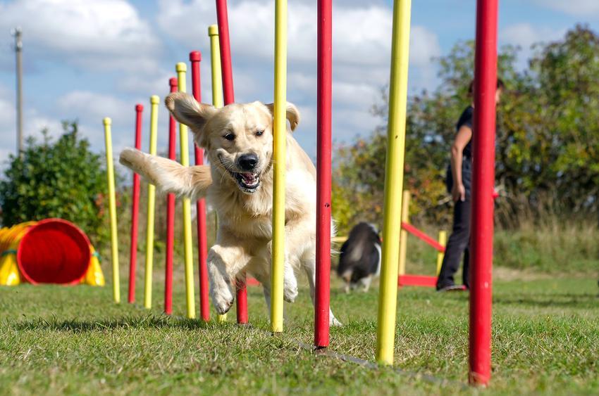 Pies wymijający przeszkody dla psa, czyli trening i tor agility