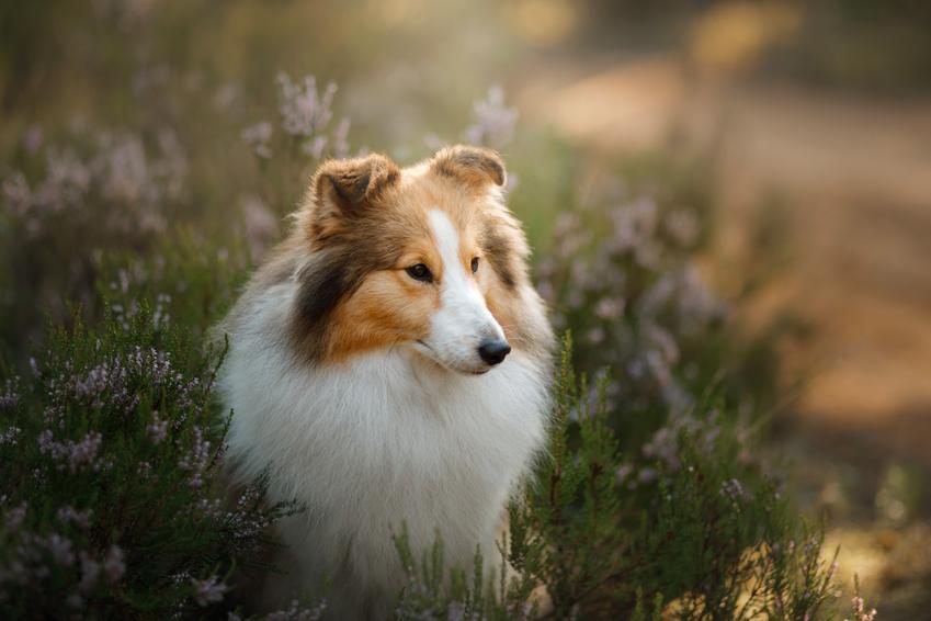 Pies rasy owczarek szetlandzki na tle zieleni, a także cena owczarka szetlandzkiego