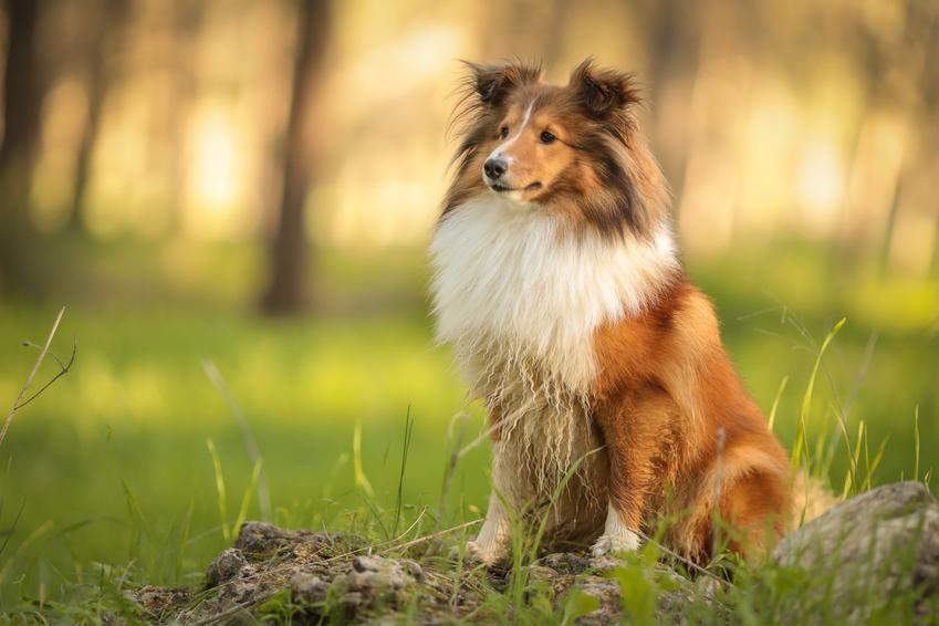 Pies rasy owczarek szetlandzki w czasie spaceru w lesie, a także cena owczarka szetlandzkiego