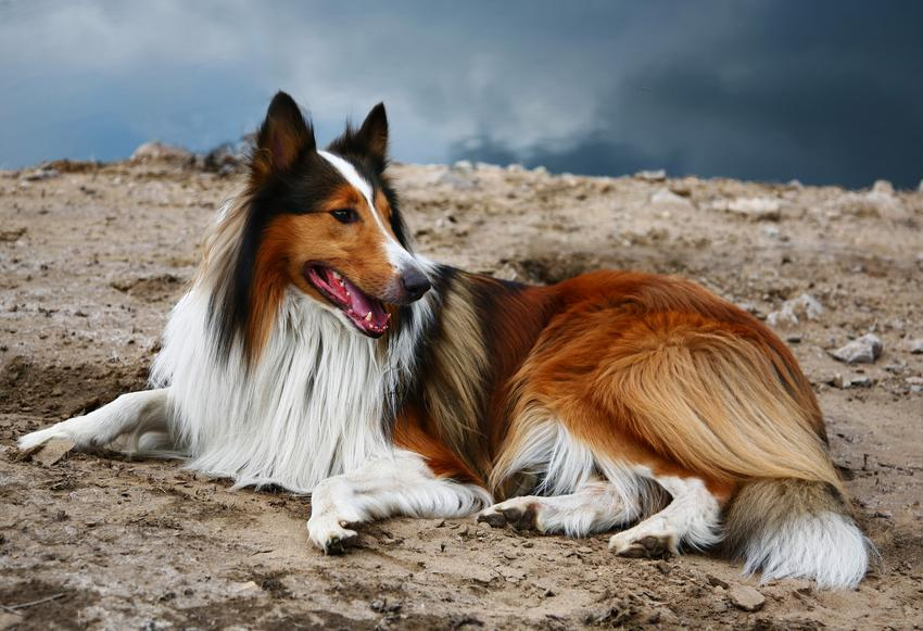 Pies rasy owczarek szkocki collie na tle zieleni oraz jego usposobienie i cena