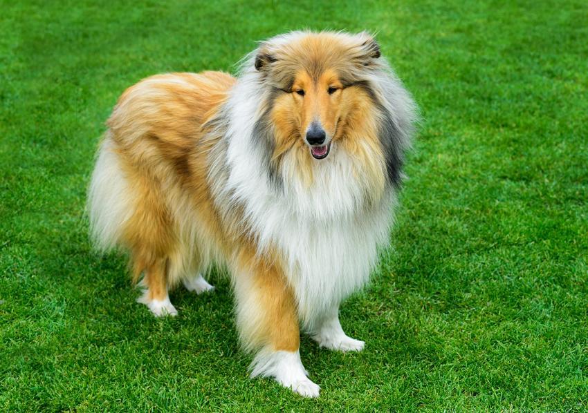 Pies rasy owczarek szkocki collie w czasie spaceru, a take jego cena i hodowla