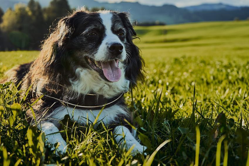Pies rasy miniaturowy owczarek australijski leżący na trawie, a także jego hodowla