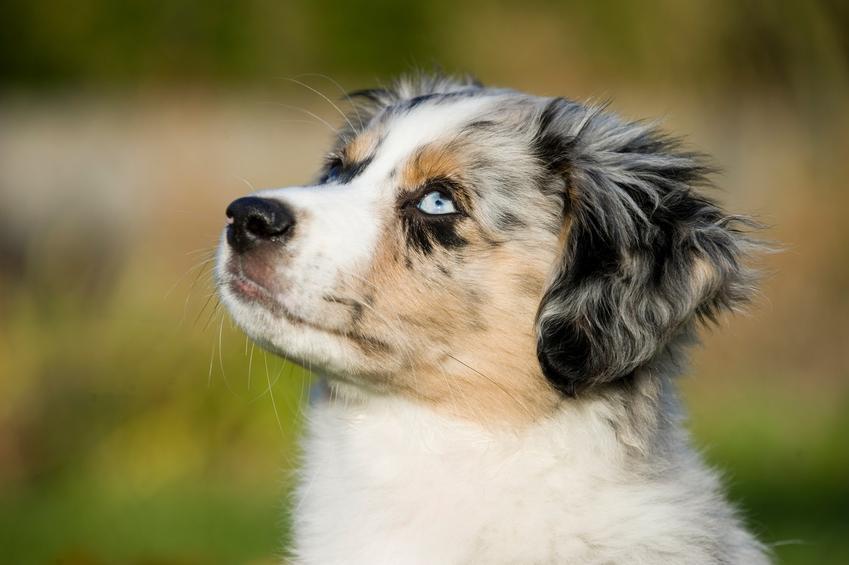 Pies rasy miniaturowy owczarek australijski na tle zieleni oraz jego cechy charakteru
