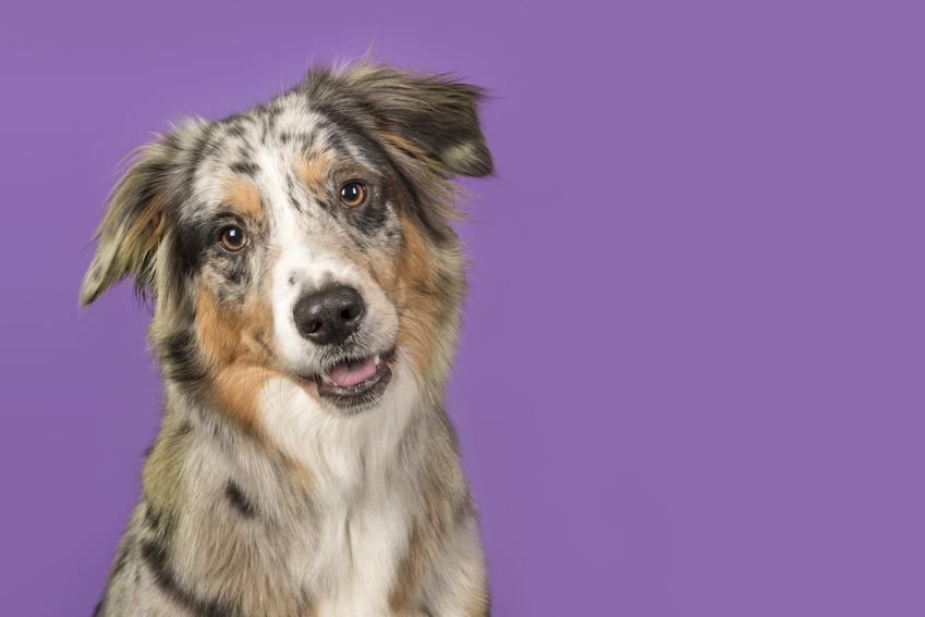 Pies rasy owczarek australijski typ amerykański na fioletowym tle i jego opis