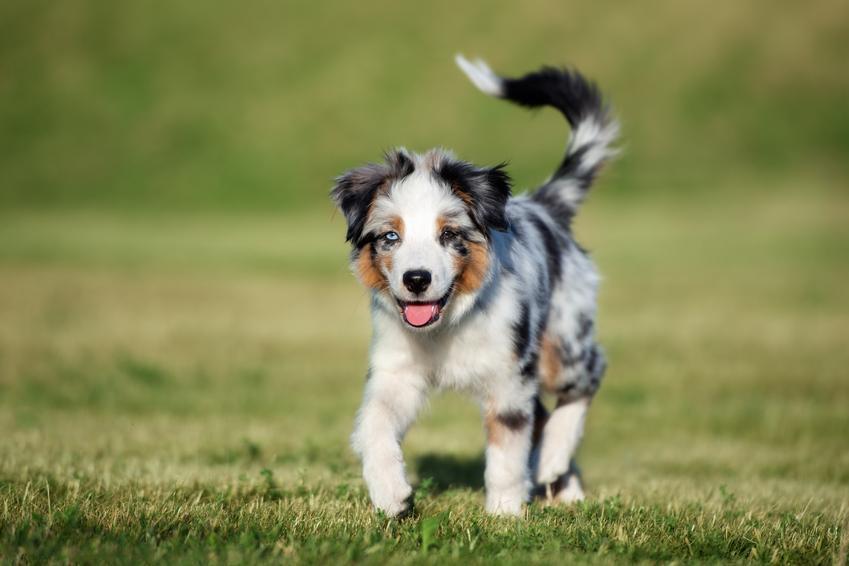 Pies rasy owczarek australijski typ amerykański i jego hodowla oraz cena