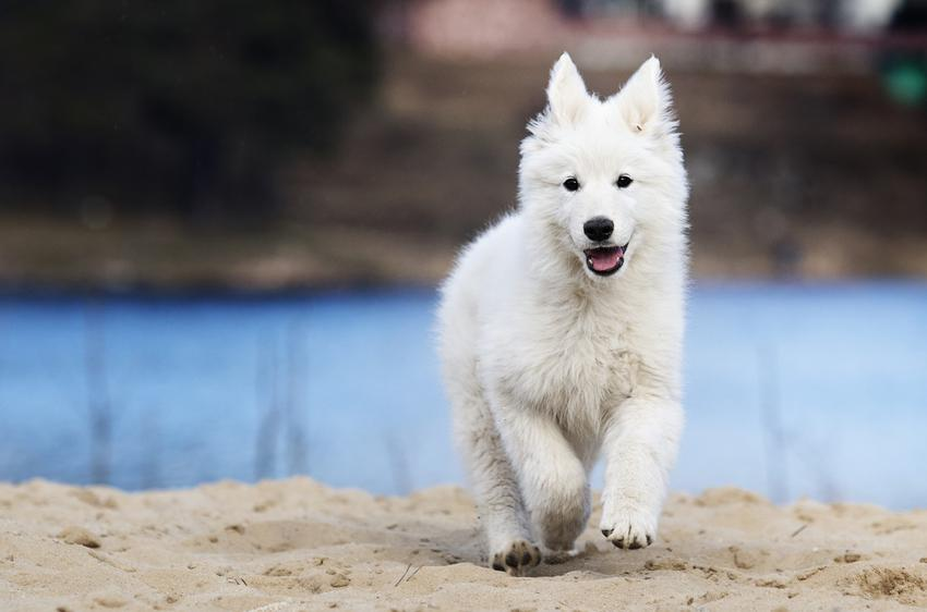 Pies rasy owczarek szwajcarski na tle wody, a także jego hodowla i cena