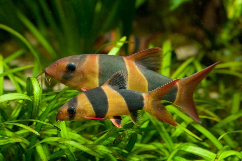 Ryba akwariowa bocja wspaniała w akwarium, a także jej wymagania i cena