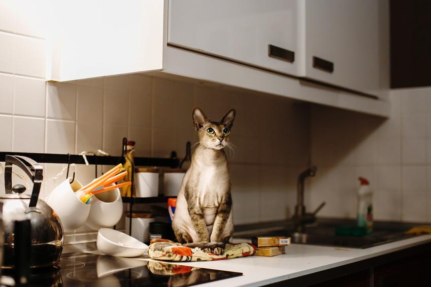 Kot orientalny siedzący na blacie w kuchni, a także koty orientalne i ich opis