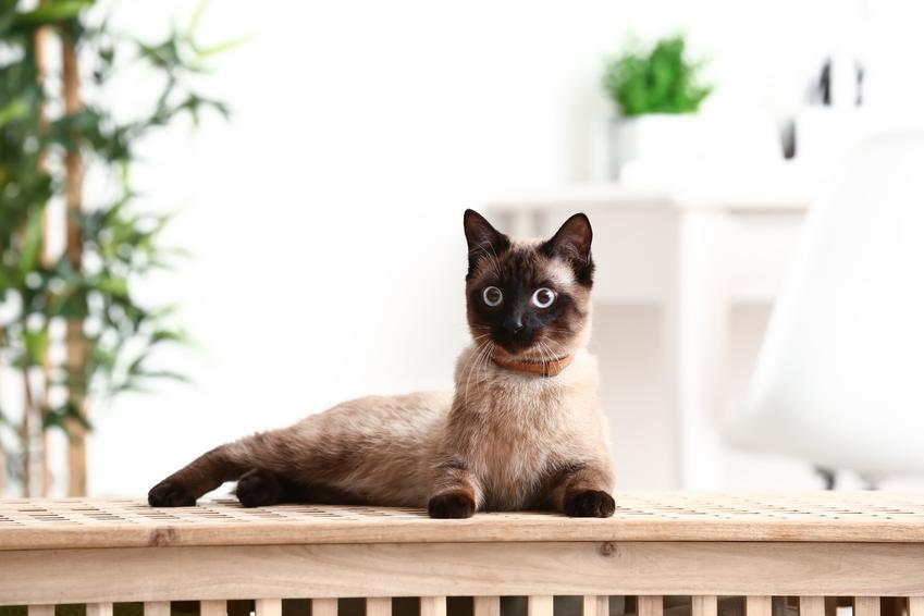 Kot orientalny siedzący na osłonie, a także koty orientalne, ich charakter i cena
