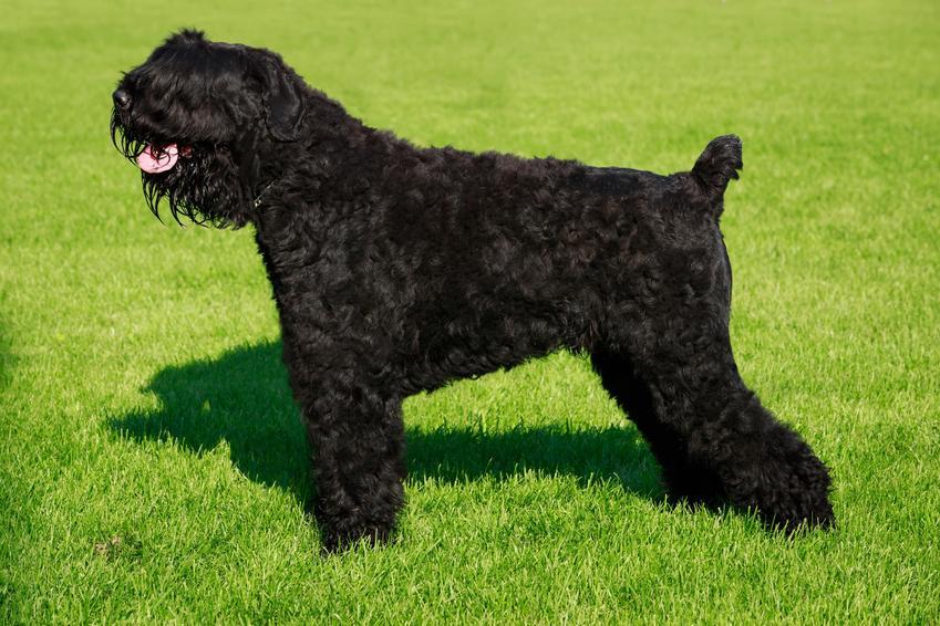 Pies rasy owczarek rosyjski stojący na trawie, a także jego usposobienie i hodowla