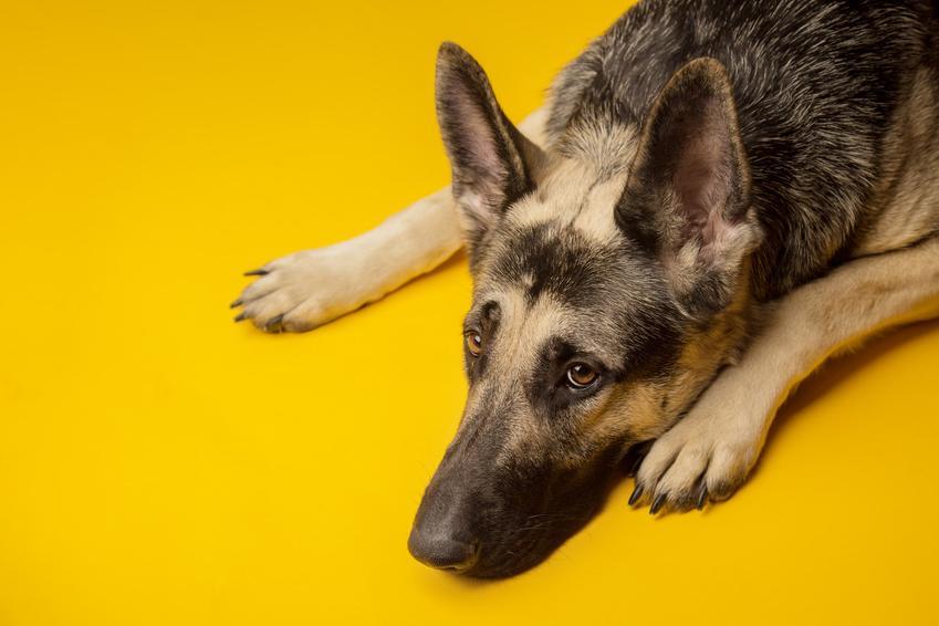 Pies rasy owczarek wschodnioeuropejski leżący na żółtym tle oraz opis rasy i cena
