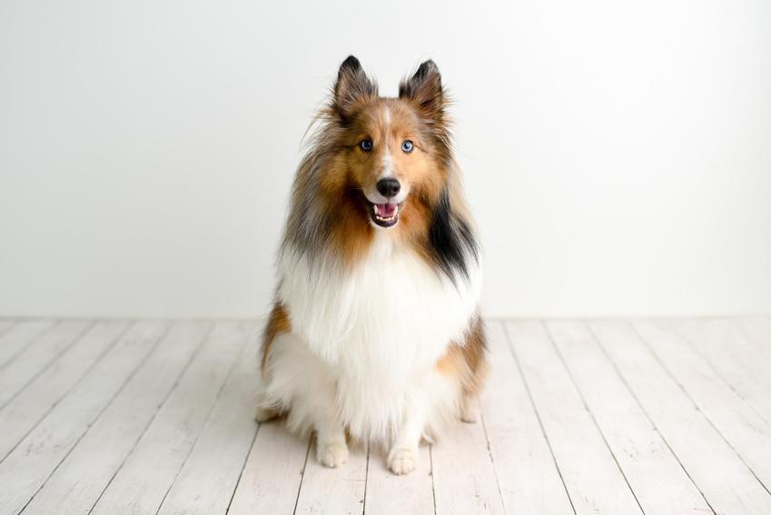 Pies rasy owczarek szkocki na białym tle oraz usposobienie owczarka szetlandzkiego