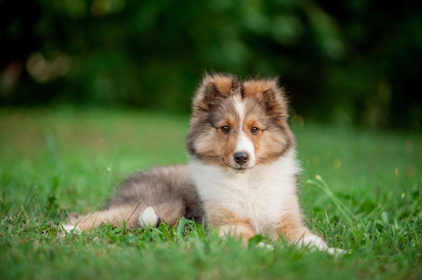 Pies rasy owczarek szkocki na tle zieleni oraz usposobienie owczarka szetlandzkiego