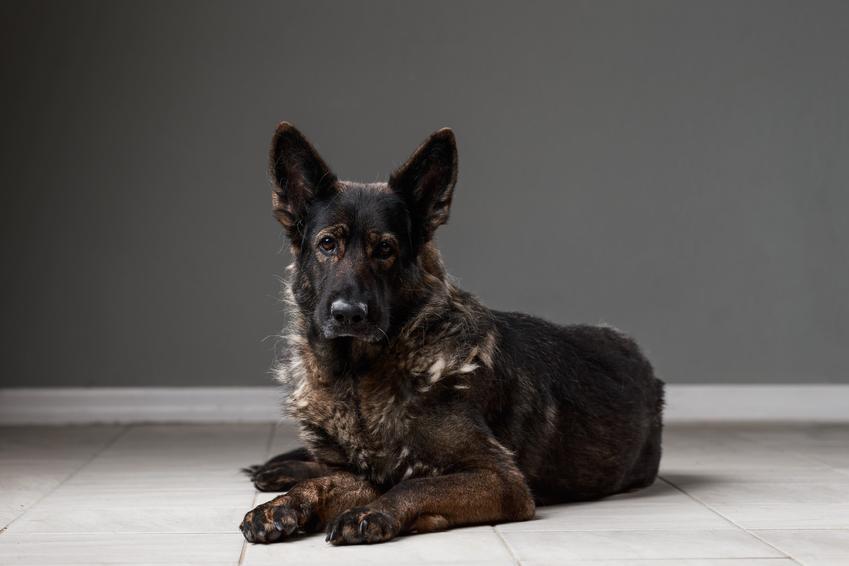 Pies rasy czarny owczarek staroniemiecki leżący na podłodze oraz cena i hodowle
