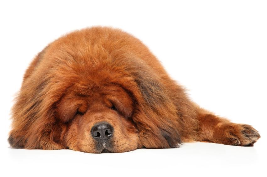 Pies rasy mastif tybetański leżący na białym tle, a także prawidłowa waga mastifa tybetańskiego