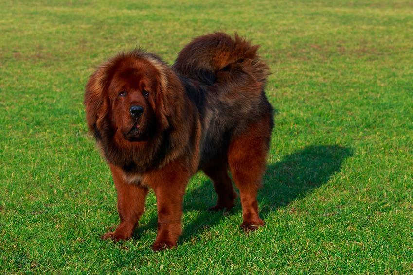 Pies rasy mastif tybetański stojący na trawniku, a także prawidłowa waga mastifa tybetańskiego