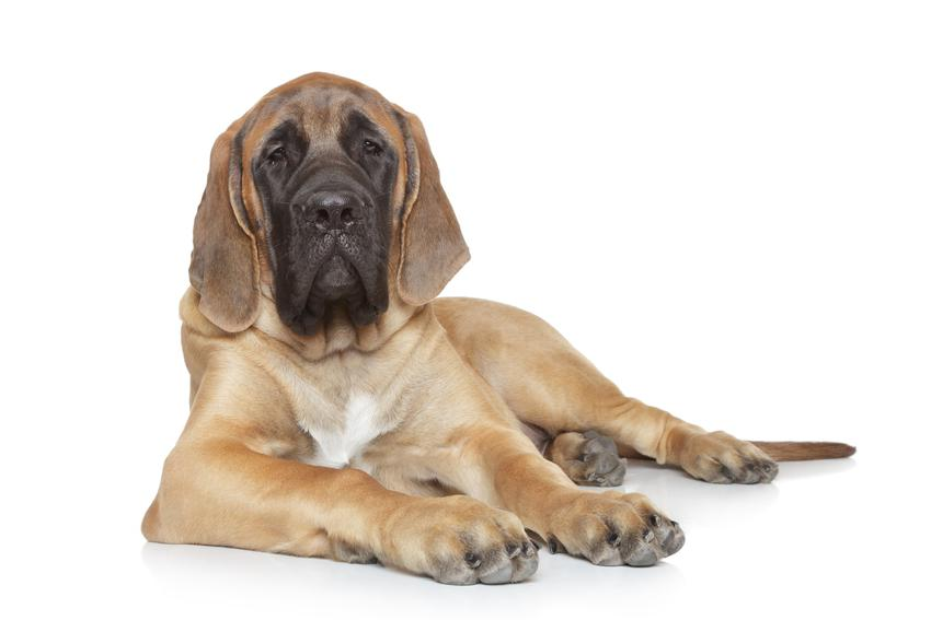 Pies rasy mastif angielski na białym tle, a także cena mastifa angielskiego z rodowodem