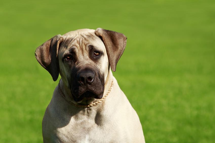 Pies rasy mastif angielski na tle trawnika, a także cena mastifa angielskiego z rodowodem
