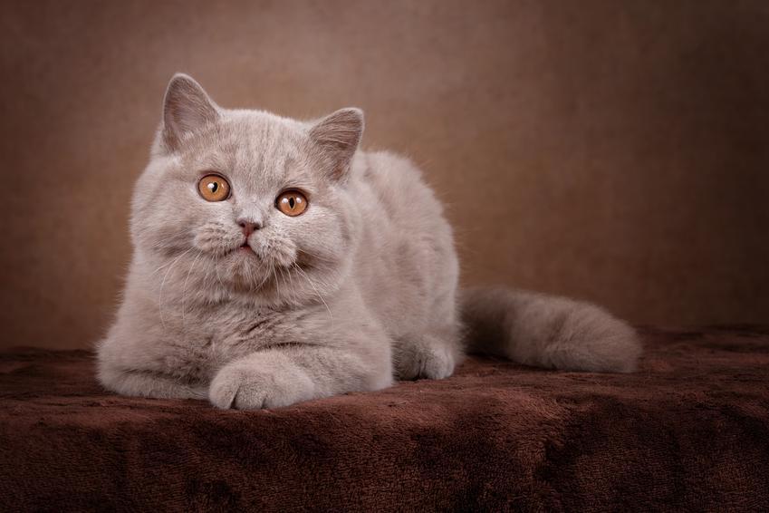 Leżący mały liliowy kot brytyjski, a także liliowy brytyjczyk i jego charakter