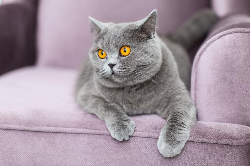 Liliowy kot brytyjski na kanapie, czuli liliowy brytyjczyk i jego usposonienie lub cechy
