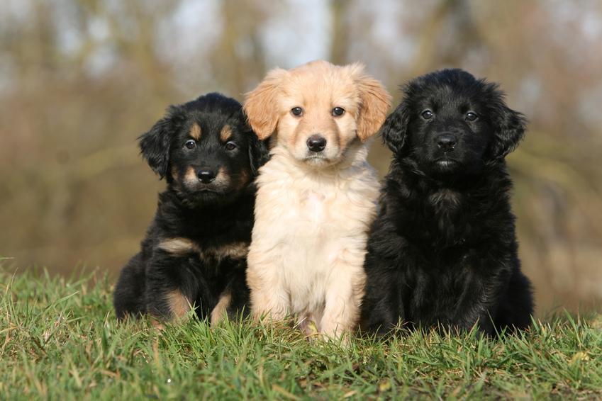 Psy rasy hovawart na tle zieleni oraz hodowla hovawart i cena za szczeniaki